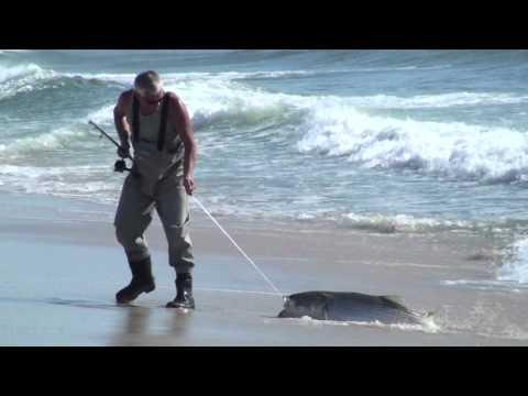 Catch & Release Of A Trophy Striped Bass In NJ Surf / Wayne Beach