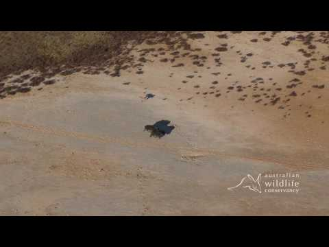 EXCLUSIVE: AWC footage of a dingo hunting a feral pig