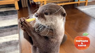 Otters Have a Unique Way of Eating Apples