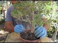 CÓMO HACER TRASPLANTE URGENTE DE UNA PICEA (Picea glauca) DE VIVERO