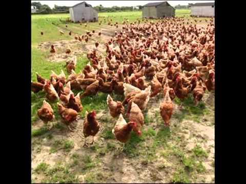 Un gallo que pisa mas de 1000 gallinas