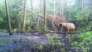 Wilk kontra bóbr - Puszcza Zielonka