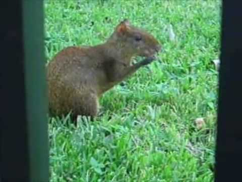 Yucatan - Wildlife: Agouti. These charming rodents could be seen ...