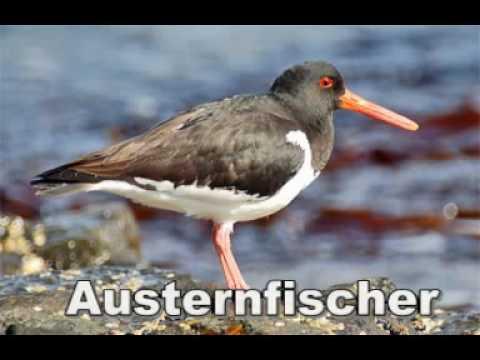 Tierstimmen im Wattenmeer