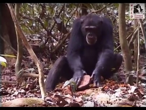 The Wild Chimpanzee Foundation (WCF) presents: Chimpanzees of the Tai Forest (2004)