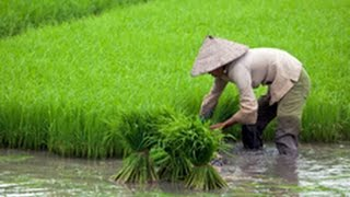 Vietnam Rice Industry Faces Threat From Climate Chang And Mekong Dams