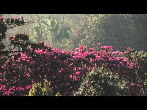 Nepal Rhododendron National flower of Nepal and Birds Annapurna Region  CANON XL H1s