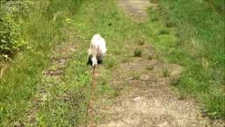 Shih Tzu Dog Lacey Going For A Walk On The Trail Near Our House