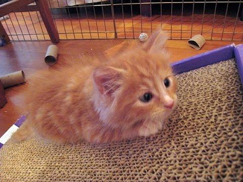 Mitch The Amazing Escape Artist Kitten