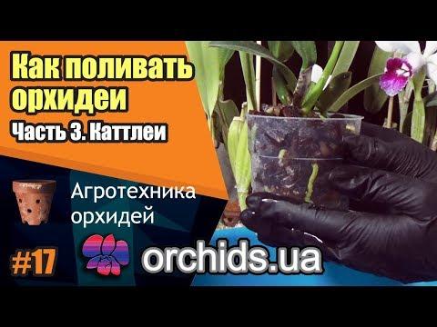 Как поливать орхидеи. Часть 3. Как поливать каттлеи (Cattleya).