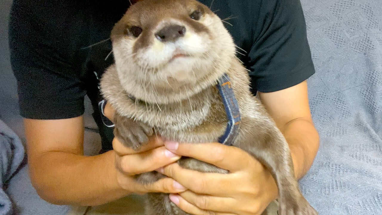 The otter helping me put on his harness. [Otter life Day 533]
