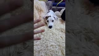 Собака сошла с ума бешеная собака точно джек-рассел-терьер зовут доня