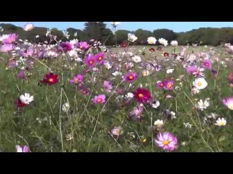 Японские космеи парка Сёва в городе Тасикава/ Cosmos «Showa Memorial Park» Japan