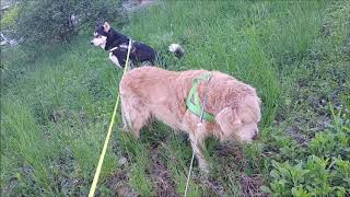 Golden Retriever eats grass and Alaskan Malamute watches his back