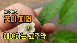 고추농사 고추꽃이 피면…