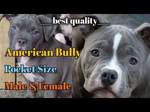 American Bully Puppy For Sale American Bully Pocket Size Puppy