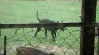 DOGS PLAYIN IN THE YARD
