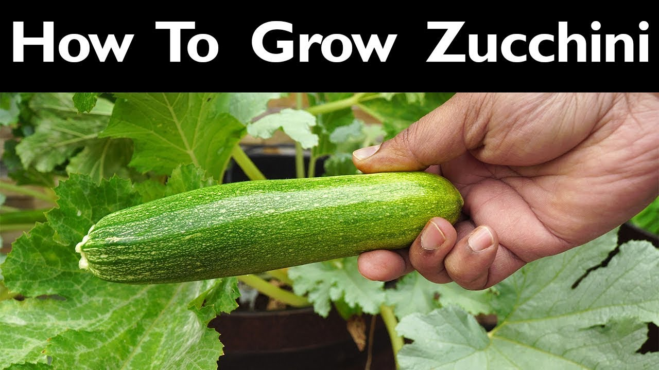 Zucchini Iskander - variety description and growing tips 94