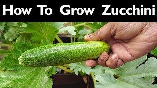 Ball's Zucchini -  Growing A Vigorous & Delicious Zucchini Plant Variety