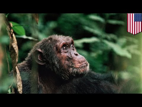 Ebola epidemics may be forcing African primate populations into extinction