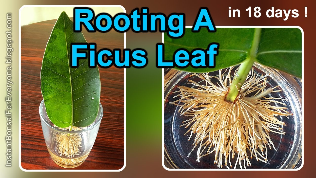 Rooting A Ficus Leaf Cutting In 18 Days 1 2 Read