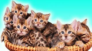Котята Мини-Леопардов. Смешные котята