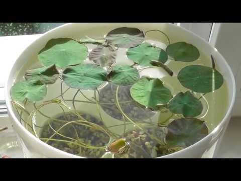 Уход и содержание Лотоса в домашних условиях. Как вырастить Лотос из семян. Часть3