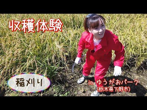 栃木県下野市で農業体験!稲刈りをしてみよう!