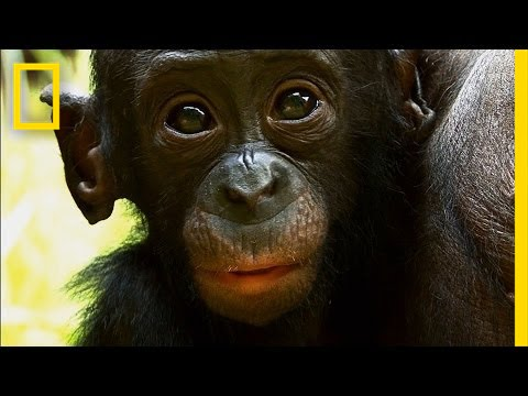 Things You Probably Didn't Know About Cute Bonobos | National Geographic