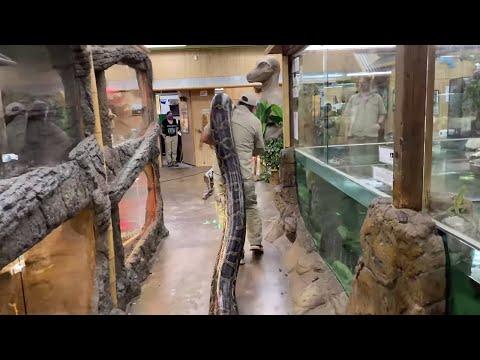 World Record Burmese Python?! Prehistoric Pets