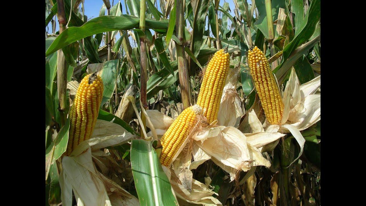Corn Plant corn plants - corn plants indoor - youtube
