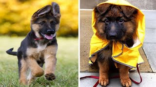 Funny and Cute german shepherd Puppies Compilation #4  Cutest german shepherd