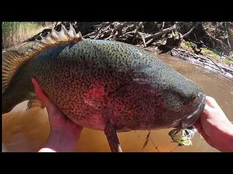 Murray Cod Fishing - BIG Skinny Water Cod