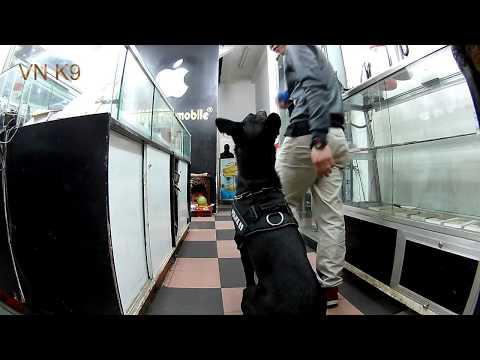 Belgian malinois dog - Baron - training heeling tricks