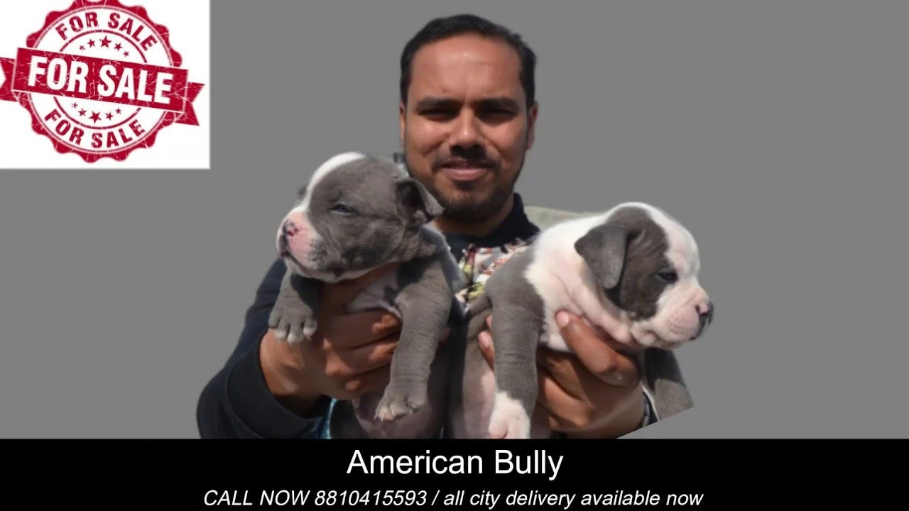 American Bully Dogs For Sale Dog Market In In Delhi
