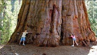 Самое большое дерево в мире!