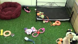 Little Rascals Uk Breeders New Litter Of Puggle Babies - Puppies For Sale 2015