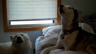 Kaiser And Kira Howling..who's Louder? Siberian Huskies Howling Singing Duel?