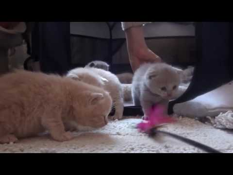 Scottish Fold Cats 18 days Baby Scottish Fold cat FOR sale in DUBAI, cute munchkin kitten! Fat cats