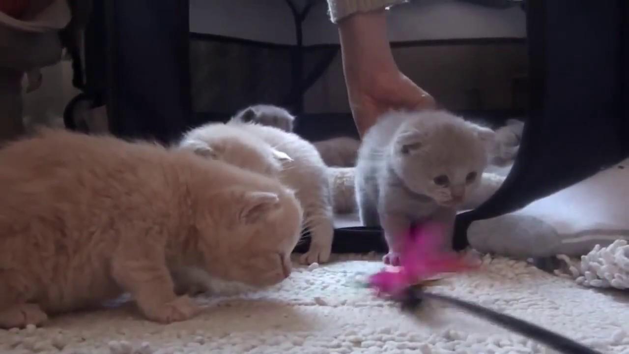 Scottish Cat For Sale In Dubai