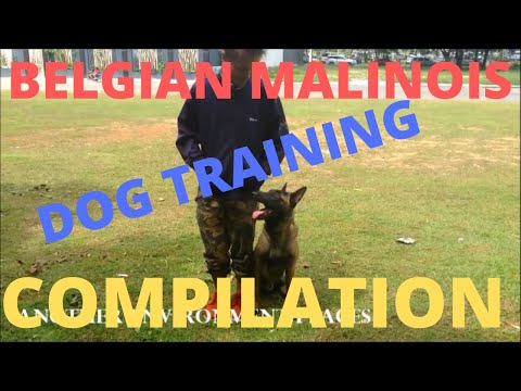 belgian-malinois-dog-training-compilation