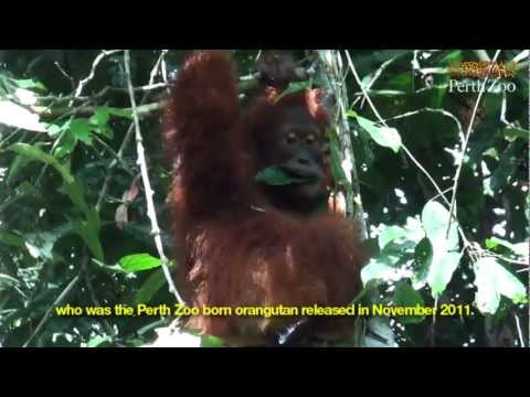 Sumatran Orangutan Release in Bukit Tigapuluh, Sumatra