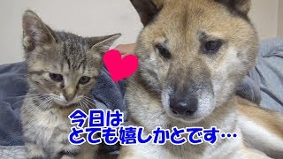 父ちゃんと一緒にくつろぐ柴犬リキ。 毛布の中から、子猫のリリリムが出...