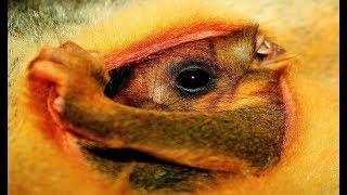 Loài phá hoại nuôi con trước bụng và nguy cơ của một số loài chim bản địa
