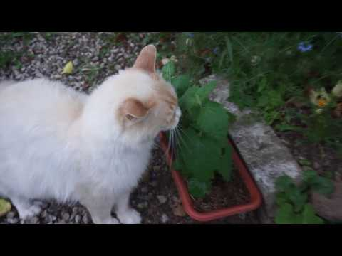 Ragamuffin cat - Winter vs Summer coat