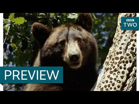 Black bear steals acorns from woodpeckers - Wild West: America