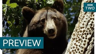Black bear steals acorns from woodpeckers - Wild West: America