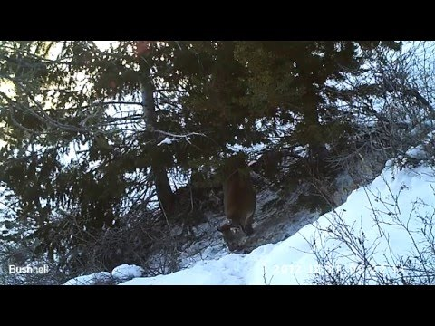 Panthera Puma Project: Wyoming Female Mountain Lion And Her Three Kittens