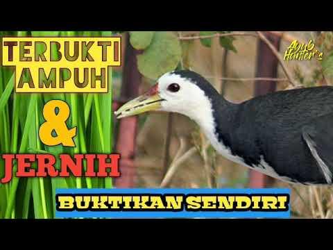 Download Suara Burung Wak Wak Betina