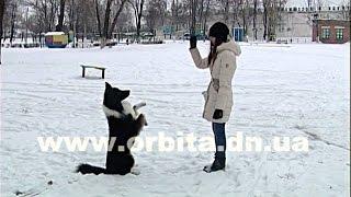 Бордер-колли – самая умная собака, среди своих сородичей